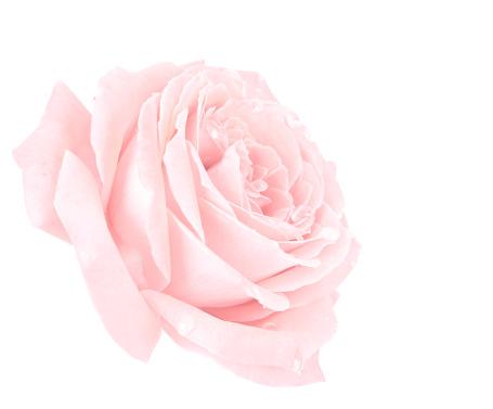 一輪の花「ピンクローズ」:スマホ壁紙(4)