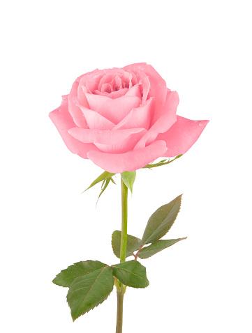Rose「Pink Rose」:スマホ壁紙(9)