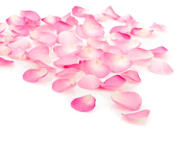 Pink rose petals on white:スマホ壁紙(壁紙.com)