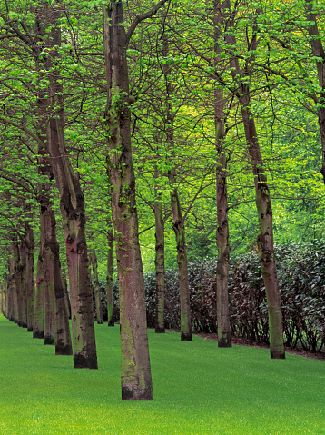 Keukenhof Gardens「Two parallel rows of Beech trees」:スマホ壁紙(8)