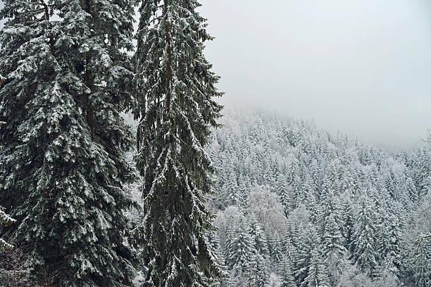 Fir trees forest under snow:スマホ壁紙(壁紙.com)