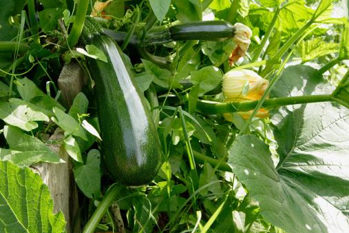 Squash - Vegetable「Zuccini Homegrown」:スマホ壁紙(9)