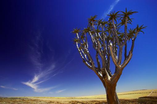 African Aloe「 Richtersveld, Northern Cape Province, South Africa」:スマホ壁紙(17)