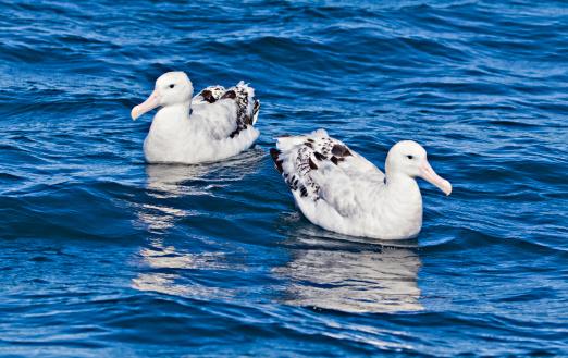 Albatross「Albatross pair on sea, facing different directions」:スマホ壁紙(19)
