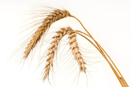 Barley「Ripe golden wheat on white - close-up」:スマホ壁紙(17)