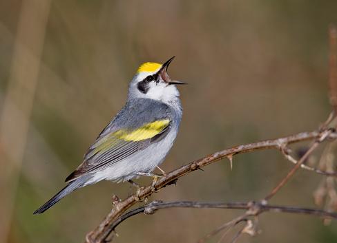 Bird「Brewster's warbler singing」:スマホ壁紙(6)