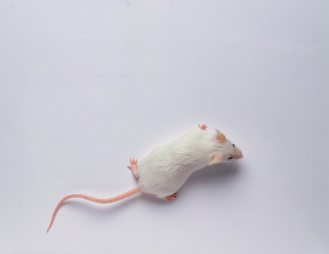 Mouse - Animal「White mouse against white background, overhead view」:スマホ壁紙(11)