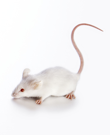 Mouse - Animal「White Mouse」:スマホ壁紙(17)
