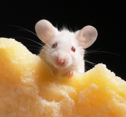 Mouse - Animal「White mouse on piece of cheese, close-up」:スマホ壁紙(14)
