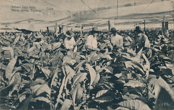 葉・植物「Tabaco Bajo Toldo. Shade Grown Tobacco - Cuba, C1900.」:写真・画像(7)[壁紙.com]