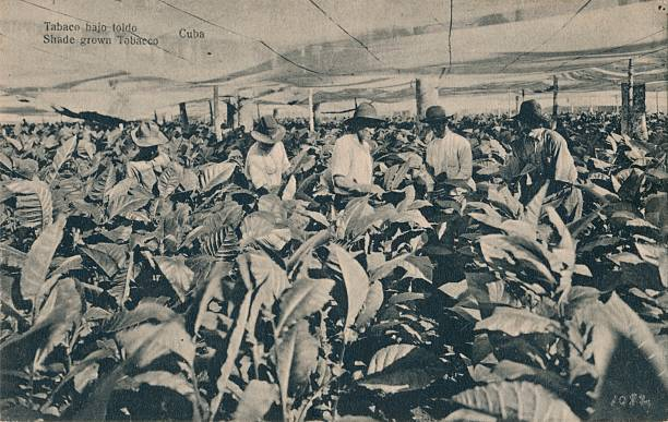Tabaco Bajo Toldo. Shade Grown Tobacco - Cuba, C1900.:ニュース(壁紙.com)