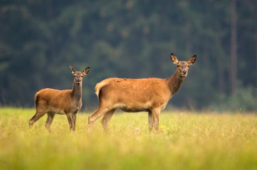 Doe「Doe and deer calf (cervus elaphus)」:スマホ壁紙(17)