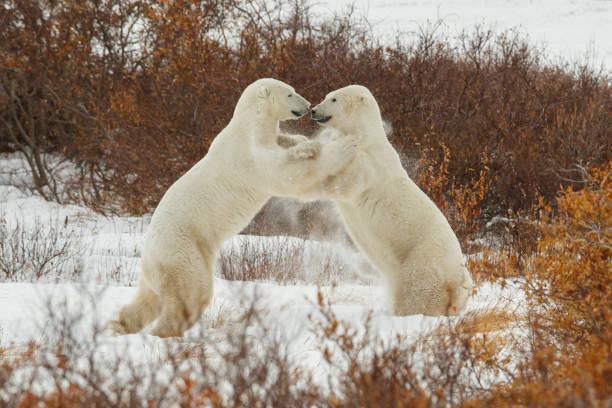 Two Polar Bears play fight:スマホ壁紙(壁紙.com)