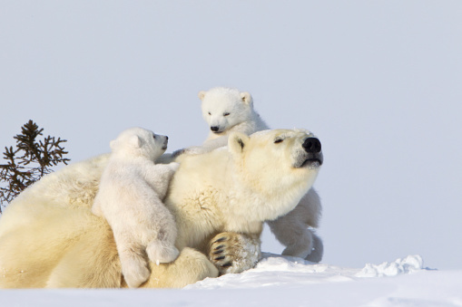野生動物「Two polar bear (ursus maritimus) cubs climbing on their mother at wapusk national park」:スマホ壁紙(5)