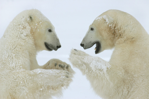 Polar Bear「Two polar bears face off in Hudson Bay winter snow」:スマホ壁紙(18)