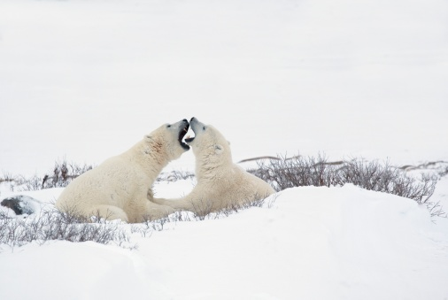 Polar Bear「two polar bears (ursus maritimus) in a humorous looking moment with their mouths open as if smelling each other's breath」:スマホ壁紙(14)