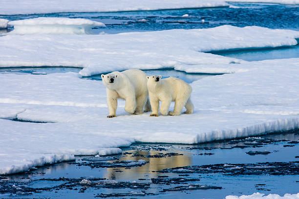 Two Polar bears on ice floe surrounded by water.:スマホ壁紙(壁紙.com)