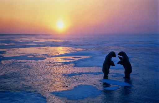 Polar Bear「Two polar bears (Ursus maritimus) fighting on ice, sunset, Canada」:スマホ壁紙(18)