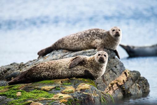 Highland Islands「Common seals resting on shoreline rocks」:スマホ壁紙(17)