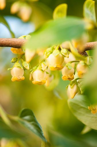 柿「Male Flowers on Asian Persimmon Tree」:スマホ壁紙(4)
