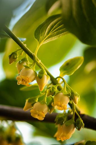 柿「Male Flowers on Asian Persimmon Tree」:スマホ壁紙(3)