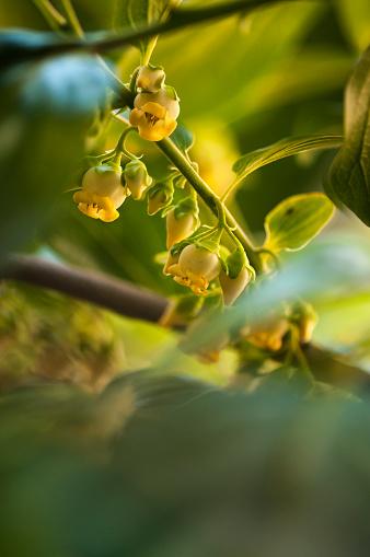 柿「Male Flowers on Asian Persimmon Tree」:スマホ壁紙(6)