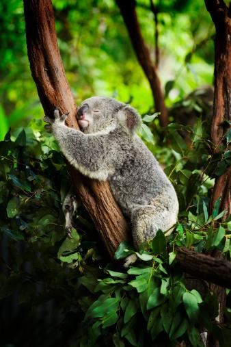 Koala「Kola Bear 」:スマホ壁紙(1)