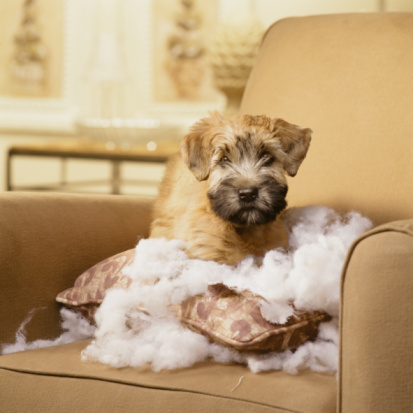 Baby animal「Wheaton Terrier Puppy with Torn Pillow sitting in 」:スマホ壁紙(11)