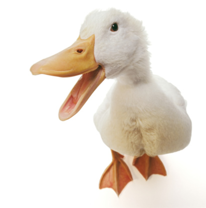 American Pekin Duck「Pekin duck with beak open, against white background, close-up」:スマホ壁紙(0)