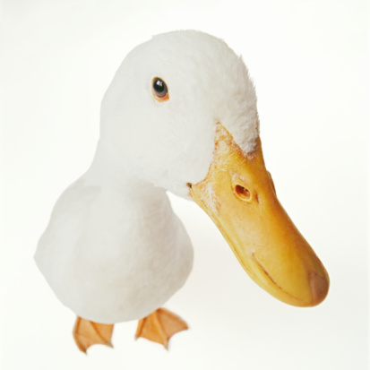 American Pekin Duck「Pekin duck, against white background, close-up」:スマホ壁紙(16)