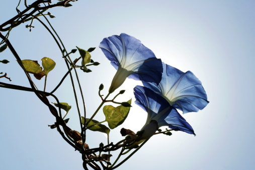 Morning Glory「Pharbitis rubro-caerulea on sky background. Flowerheads of celestial-blue color. Annual liane in height up to 5 m with very large (up to 10 cm in diameter)」:スマホ壁紙(14)
