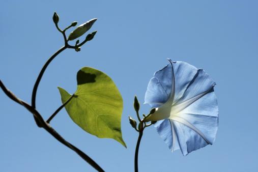 朝顔「Pharbitis rubro-caerulea on sky background. Flowerheads of celestial-blue color. Annual liane in height up to 5 m with very large (up to 10 cm in diameter)」:スマホ壁紙(13)