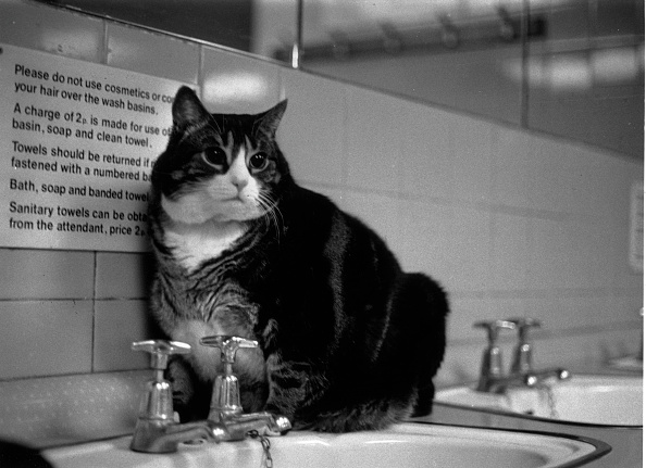 Domestic Cat「Tiddles」:写真・画像(14)[壁紙.com]