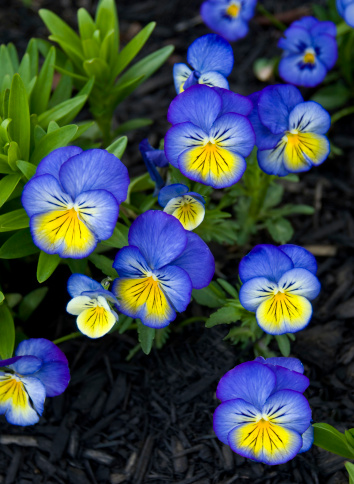 Variegated Foliage「Johnny Jump-up, Heartsease Viola tricolor」:スマホ壁紙(13)