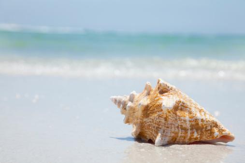 ビーチ「USA, Florida, St. Petersburg, conch shell on beach」:スマホ壁紙(0)