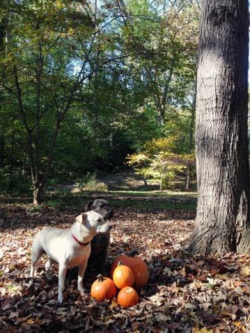 カボチャ「Two dogs standing by pumpkins in forest」:スマホ壁紙(10)