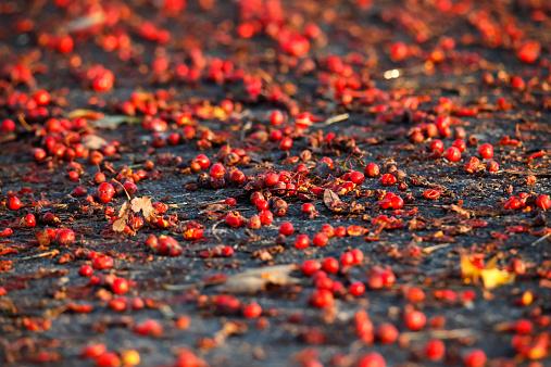 Rowanberry「Germany, Rowanberries in the morning light」:スマホ壁紙(10)