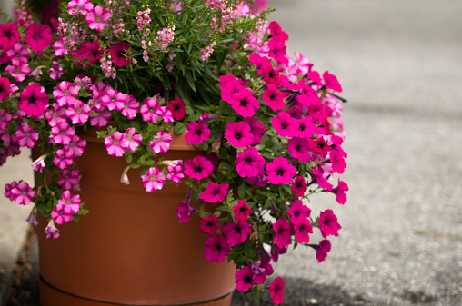 ペチュニア「Profusion of Pink Petunia Blossoms. Potted Flowers」:スマホ壁紙(6)