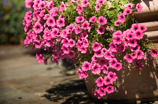 ペチュニア「Profusion of Pink Petunia Blossoms. Potted Flowers」:スマホ壁紙(17)