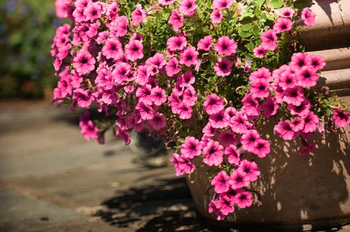 ペチュニア「Profusion of Pink Petunia Blossoms. Potted Flowers」:スマホ壁紙(12)