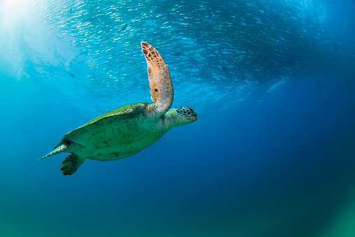 Green Turtle「GREEN SEA TURTLE and a school of treval」:スマホ壁紙(13)