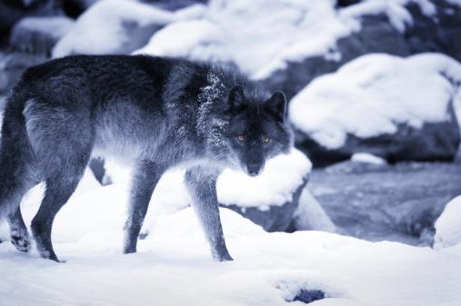 Animal Whisker「Wolf」:スマホ壁紙(19)
