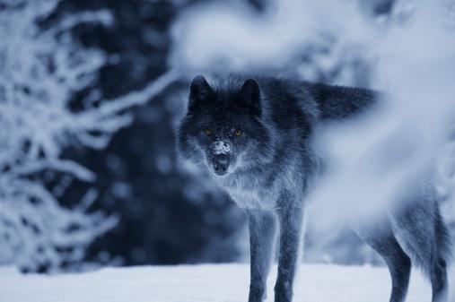 Animal Whisker「Wolf」:スマホ壁紙(14)