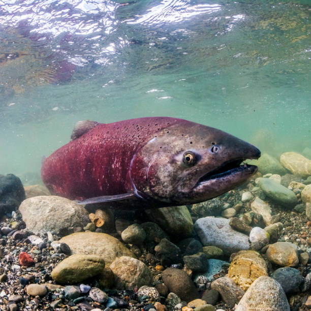 Spawning female Chinook Salmon (also known as King Salmon, Oncorhynchus tshawytscha) in a tributary of the Copper River, Alaska during the summer:スマホ壁紙(壁紙.com)