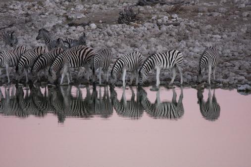 Giraffe「Namibia, Zebras drinking water」:スマホ壁紙(16)
