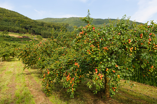 Apricot Tree「Austria, Lower Austria, Waldviertel, Wachau, Apricot Trees, Prunus armeniaca」:スマホ壁紙(4)