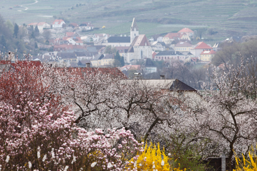 Austria「Austria, Lower Austria, Wachau, Spitz, View of town with apricot blossoms in foreground」:スマホ壁紙(18)