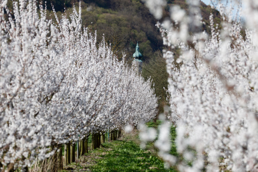 Apricot Tree「Austria, Lower Austria, Wachau, Aggsbach Markt, Rows of apricot blossom in field with church in background」:スマホ壁紙(14)