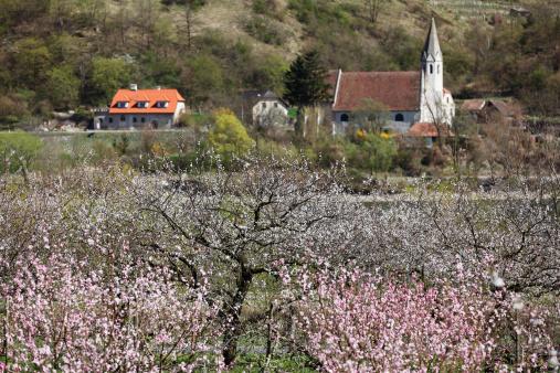 Apricot Tree「Austria, Lower Austria, Wachau, St. Johann im Mauerthale, View of blossoming apricot field and church in background」:スマホ壁紙(19)