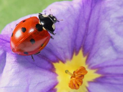 Ladybug「Ladybug and flower 02」:スマホ壁紙(14)